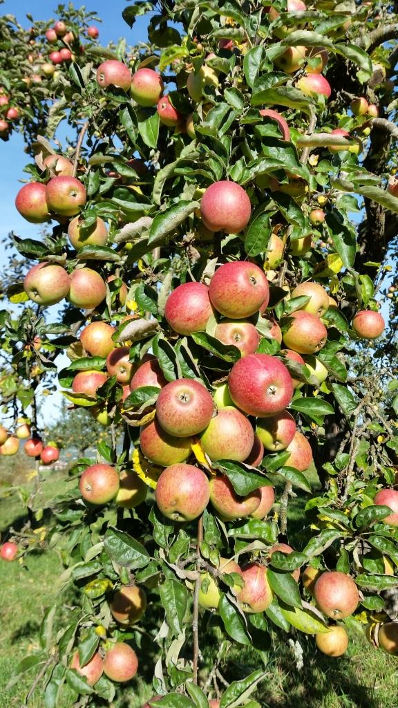 Apfelbaum2