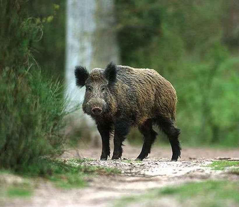 wildschwein3