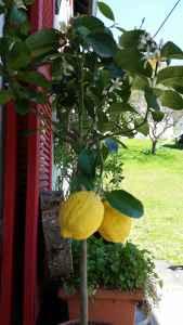 Zitronenbaum02