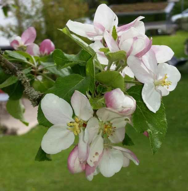 Apfelbluete01