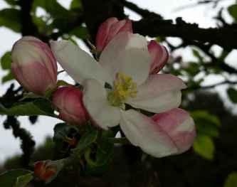 Apfelbluete02