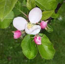 Apfelbluete03