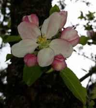 Apfelbluete04