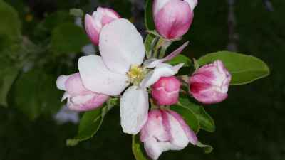 Apfelbluete06