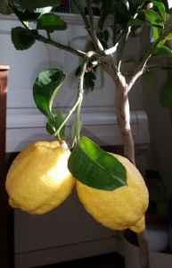 Zitronen01