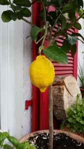 Zitronenbaum04