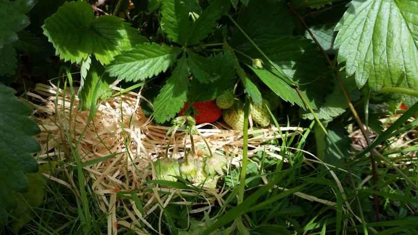 Erdbeere08