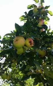 Apfelbaum03