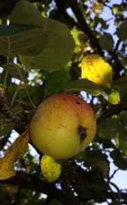 Apfelbaum04